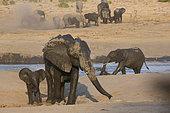 African Elephant (Loxodonta africana) at water hole, Hwange National Park, Zimbabwe