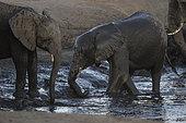 African Elephant (Loxodonta africana) having bath at water hole, Hwange National Park, Zimbabwe