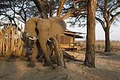 African Elephant (Loxodonta africana) at the Hwange main camp (African Bush camp) charging, Hwange National Park, Zimbabwe