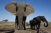 African Elephant (Loxodonta africana), Hwange National Park, Zimbabwe