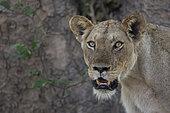 Lion (Panthera leo) Female, Mana pools National Park, Zilmbabwe