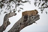 Lion (Panthera leo) Female in a tree. Mana pools National Park Zimbabwe