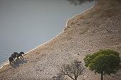 African Elephant (Loxodonta africana) group aerial shot Mayuni Conservancy area, Caprivi Strip, Namibia