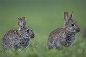 Rabbit (Oryctolagus cuniculus) juveniles, Burgundy, France