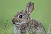 Rabbit (Oryctolagus cuniculus) juvenile, Burgundy, France