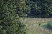 Roe deer (Capreolus capreolus) Buck, Burgundy, France