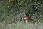 Red fox (Vulpes vulpes), Burgundy, France