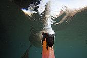 Mute swan (Cygnus olor) view from underwater, swan is looking for food underwater, Burgundy, France