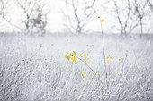 yellow leaves of poplar (populus sp) in a frosty meadow, Lot, France