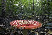 Fly agaric mushrooms (Amanita muscaria) in autumn, Burgundy, France