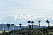 Nests of white storks (Ciconia ciconia), natural monument of Los Barruecos, Extremadura, Spain