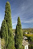 Mediterranean cypress (Cupressus sempervirens) at Grignan, Drome, France