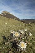 Stemless carline thistle (Carlina acaulis) plateau of Ambel, Vercors, france