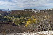 Alpine buckthorn (Rhamnus alpina) in a rocky scree, Drôme, Vercors, Omblèze, France