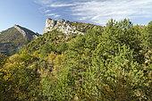 Black pine (Pinus nigra) and downy oak (Quercus pubescens), Adret d'Ubrieux, Buis-les-Baronnies, Drôme, France