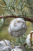 Smooth Arizona cypress (Cupressus glabra). Syn.: Cupressus arizonica var. glabra