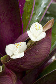 Boat lily (Tradescantia spathacea). Syn.: Rhoeo spathacea