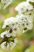 Alpine snow gum (Eucalyptus pauciflora subsp. niphophila)