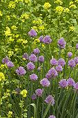 Chives (Allium schoenoprasum) et black mustard (Brassica nigra)