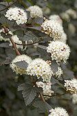 Atlantic ninebark (Physocarpus opulifolius) 'Diabolo'