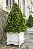 Portugal laurel (Prunus lusitanica) topiary in container