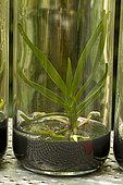 Angraecum in vitro culture