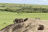 Banded Mango (Mungos mungo), troop on a termite mound in its territory, Masai-Mara Reserve, Kenya