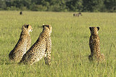 Cheetah (Acinonyx jubatus), female and her large young observing warthogs, Masai-Mara National Reserve, Kenya