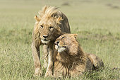 Lion (Panthera leo), tenderness between 2 males of the troop, Masai-Mara Reserve, Kenya