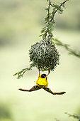 Layard's weaver (Ploceus cucullatus) male building his nest, Masai-Mara Reserve, Kenya