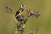 Goldfinch (Carduelis carduelis) perched on a thistle, England