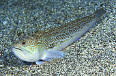 Greater weever (Trachinus draco), Tenerife. Fish of the Canary Islands