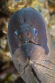 Brown moray (Gymnothorax unicolor), Tenerife, Canary Islands.
