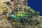 Atlantic wrasse (Symphodus trutta). Male making a nest of algae, where the female will deposit the eggs, Tenerife, Fish, underwater funds of the Canary Islands.