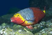Mediterranean Parrotfish (Sparisoma cretense) female, Tenerife. Fish of the Canary Islands