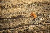 Cheval Islandais (Equus caballus) dans le paysage, Islande
