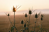 Teasel (Dipsacus fullonum) and Bordered Orb-weaver (Neoscona adianta) at dawn, Arles, Provence, France