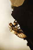 Exuviae of common cicada (Lyristes plebejus), Arles, Provence, France