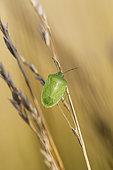 Southern Green Stink Bug (Nezara viridula), Arles, Provence, France
