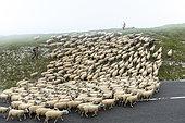 Transhumance of Boulonnais sheep on Cap Blanc-Nez, Pas de Calais, France