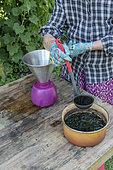 Decoction of nettles for the treatment of plants, summer, Pas de Calais, France