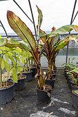 Banana trees 'Maurelii' in a greenhouse, spring, Pas de Calais, France