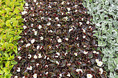 Begonia seedlings 'Senator' white, in a greenhouse, spring, Pas de Calais, France