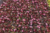 Begonia seedlings 'Senator' light pink, in a greenhouse, spring, Pas de Calais, France