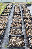 Dahlia tubers in wintering crates, before planting in late spring, Pas de Calais, France