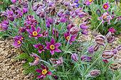 Pasque flower (Pulsatilla vulgaris) in bloom in a garden, spring, Somme, France