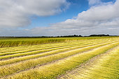 Weeding and drying the stems of flax in a field, summer, Sangatte, France