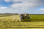 Flax harvesting by uprooting, summer, Sangatte, France