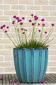 Thrift seapink (Armeria maritima), in a pot, on a garden terrace, Printemps, Pas de Calais, France.