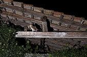 Barn Owl (Tyto alba) feeding outdoors, Alsace, France